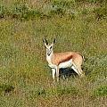 Springbok by Werner Lehmann
