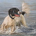 Springer Spaniel by David Stribbling