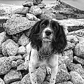 Springer Spaniel by Mike Stephen