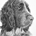 Springer Spaniel Profile by Kate Sumners