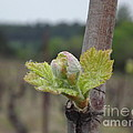 Spring In The Vineyard by France  Art