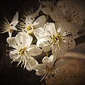 Springtime Blossoms by Annie Adkins
