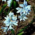Springtime Blues by Rosanne Jordan