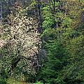 Springtime Forest Blossoms  by Blair Seitz
