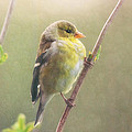 Springtime Goldfinch by Susan Capuano