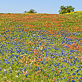 Springtime In Texas 5 by Stephen Anderson