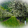 Springtime In The Orchard by Bill Gallagher