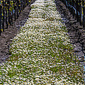 Springtime In The Vineyards by Garry Gay