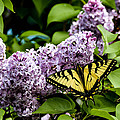 Springtime Lilac And Butterfly by Sherman Perry