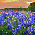 Springtime Sunset In Texas - Texas Bluebonnet Wildflowers Landscape Flowers Paintbrush by Jon Holiday