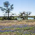 Springtime Texas Bluebonnets Naturalized by Kathy Clark