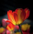 Springtime Tulips by Linda Matlow
