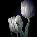 Springtime White Tulips by Julie Palencia