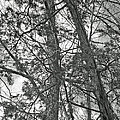 Springtime Woods - New Jesey Pine Barrens - Black And White by Mother Nature