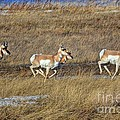 Sprinting Pronghorn by James Anderson