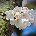 Sprouting Cherry Blossoms by Patricia Babbitt