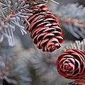 Spruce Cone Closeup II by Dakota Light Photography By Dakota