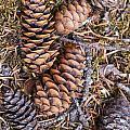 Spruce Cones by Doug Lloyd