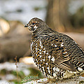Spruce Grouse In The Snow by Brandon Smith