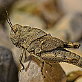 Spur-throated Grasshopper by Linda Tiepelman