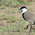 Spur-winged Lapwing by Ian Ashbaugh