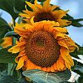 Squamish Sunflower Portrait by Adam Jewell