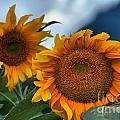 Squamish Sunflowers by Adam Jewell