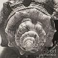 Square Sepia Sea Shell by Birgit Tyrrell