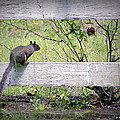 Squirrel And Rosebush by Brian Wallace