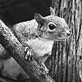 Squirrel Black And White by Sandi OReilly