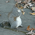 Squirrel Chomping On Bread by Emmy Vickers