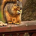 Squirrel Eating A Peanut by  Onyonet  Photo Studios