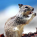Squirrel Enjoying Lunch On The Beach by Richard Cheski
