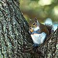 Squirrel In A Tree by Linda Kerkau