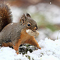 Squirrel In Snow by Peggy Collins