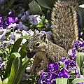 Squirrel In The Botanic Garden-dallas Arboretum V2 by Douglas Barnard
