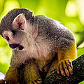 Squirrel Monkey by Pati Photography
