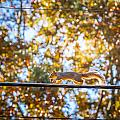 Squirrel On A Wire  by Melinda Ledsome