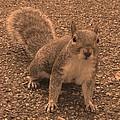 Squirrel by Paula Sharlea