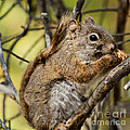 Squirrel  by Robert Bales