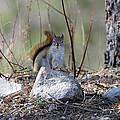 Squirrel by Scott Angus