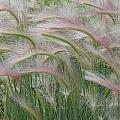 Squirrel Tail Grass In The Wind by Deborah Moen