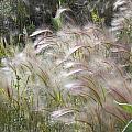 Squirrel Tail Grass Panguitch Lake Utah by Deborah Moen