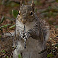 Squirrel With His Obo by Sandra Clark