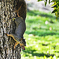 Squirrel With Pecan by Debbie Portwood