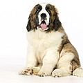 St Bernard Dog by John Daniels