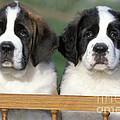 St. Bernard Puppies by Rolf Kopfle
