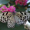 St. Louis Zoo Butterfly by Jeffrey Ikemeier
