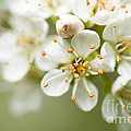 St Lucie Cherry Blossom by Anne Gilbert