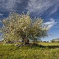 St Lucie Cherry (prunus Mahaleb) by Science Photo Library